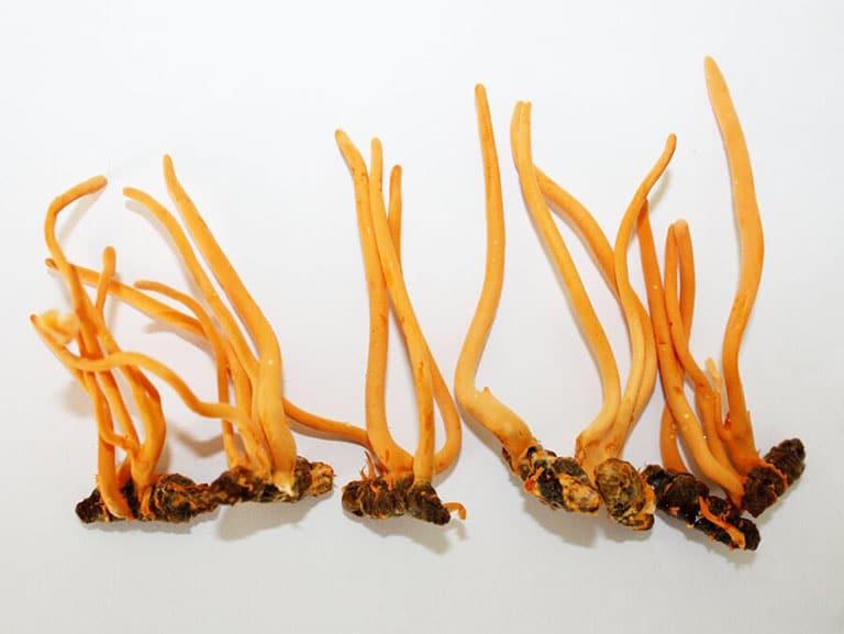 Đông trùng hạ thảo là thần dược cho sức khoẻ con người