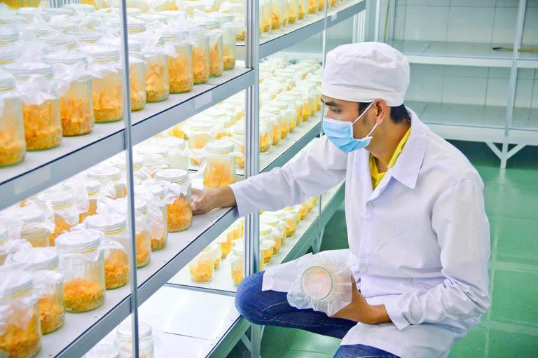 Quy trình nuôi cấy đông trùng hạ thảo rất nghiêm ngặt