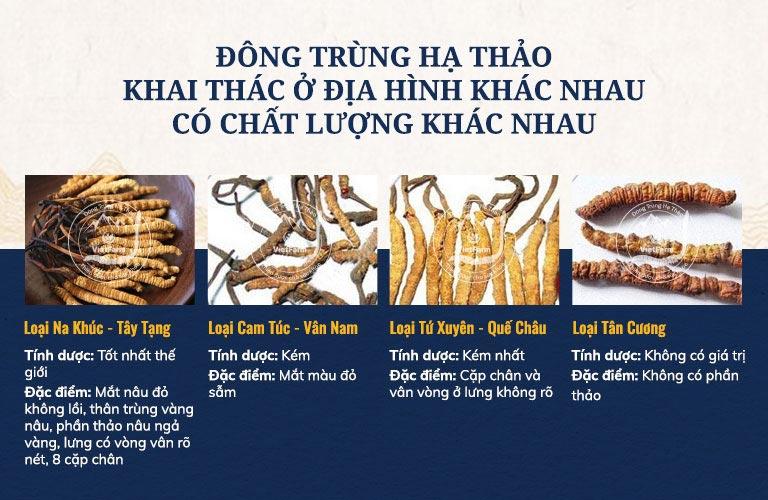 Đông trùng hạ thảo tự nhiên khai thác ở Na Khúc Tây Tạng chất lượng tốt nhất trên thế giới
